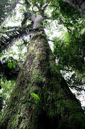 Mogno Brasileiro, O Plantio e Dicas de Cuidados