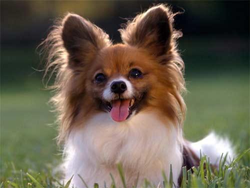 Raças de Cachorros Pequenos – Dicas e Fotos