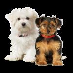 racas-pequenas-de-cachorros-4